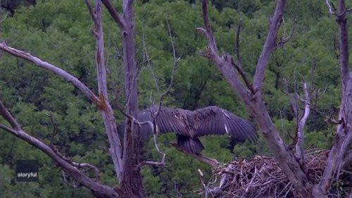 On a Wing and a Prayer: Baby Bald Eagle Psyches Itself Up to Fly