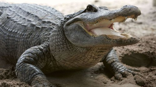 Can You Really Escape an Alligator if You Run in a Zigzag?