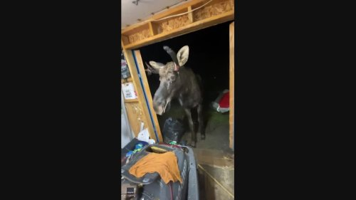 Room for One More? Huge Moose Crashes Party in Ontario Man's Shed