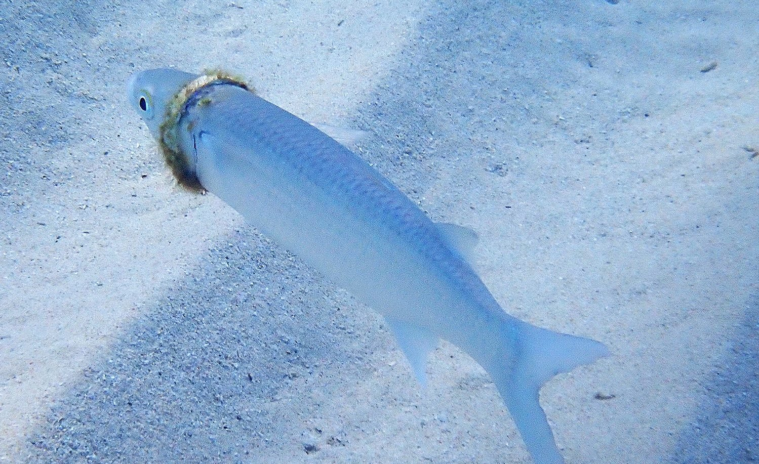 Snorkeler spots man's lost wedding ring on a tiny fish. Now what?