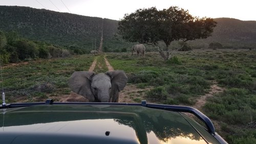 Baby elephant charges at safari vehicle