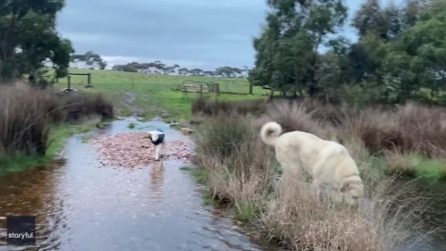 Dog Helps Guide Lamb Across Flooded Creek in South Australia