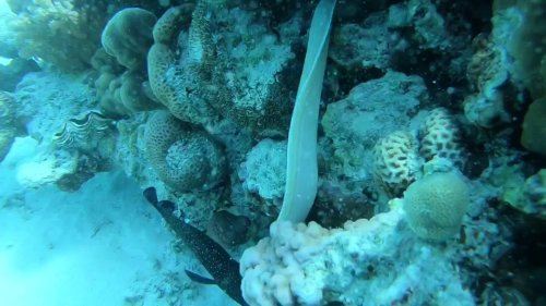 White Moray Swims in Coral Reef
