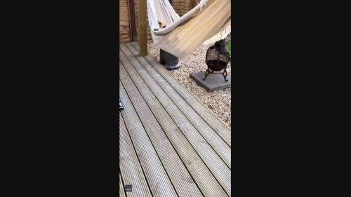 A Dog's Life: Golden Retriever Relaxes in Hammock