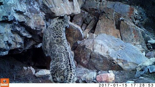 Snow Leopard Marks Territory With Scent
