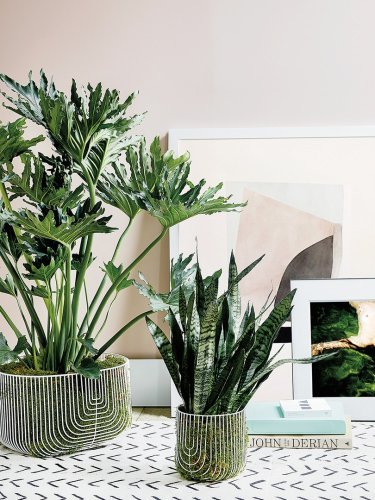 Move over, fiddle-leaf fig—we're seeing this indoor tree everywhere