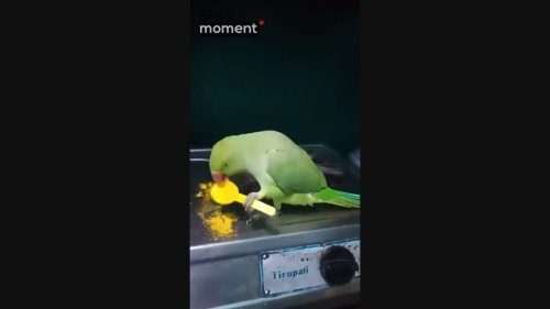 Eclectic Parrot Eats Chef's Turmeric With Spoon
