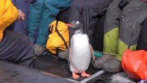 Must See! This Is the Moment a Penguin Escapes a Killer Whale by Jumping Onto Tour Boat