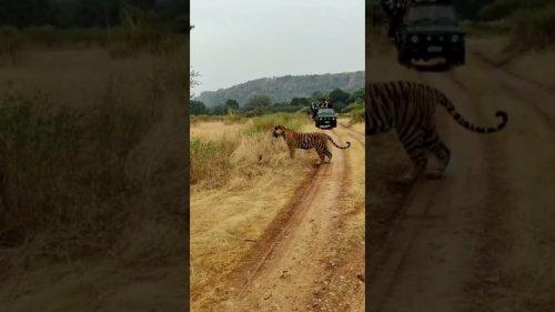 Tiger Fights Python