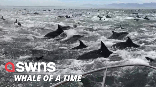 Stunning footage shows a whale and a pod of dolphins tucking into some food together (RAW)
