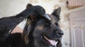 An Odd Couple Forms Between an Adorable German Shepherd and a Duck
