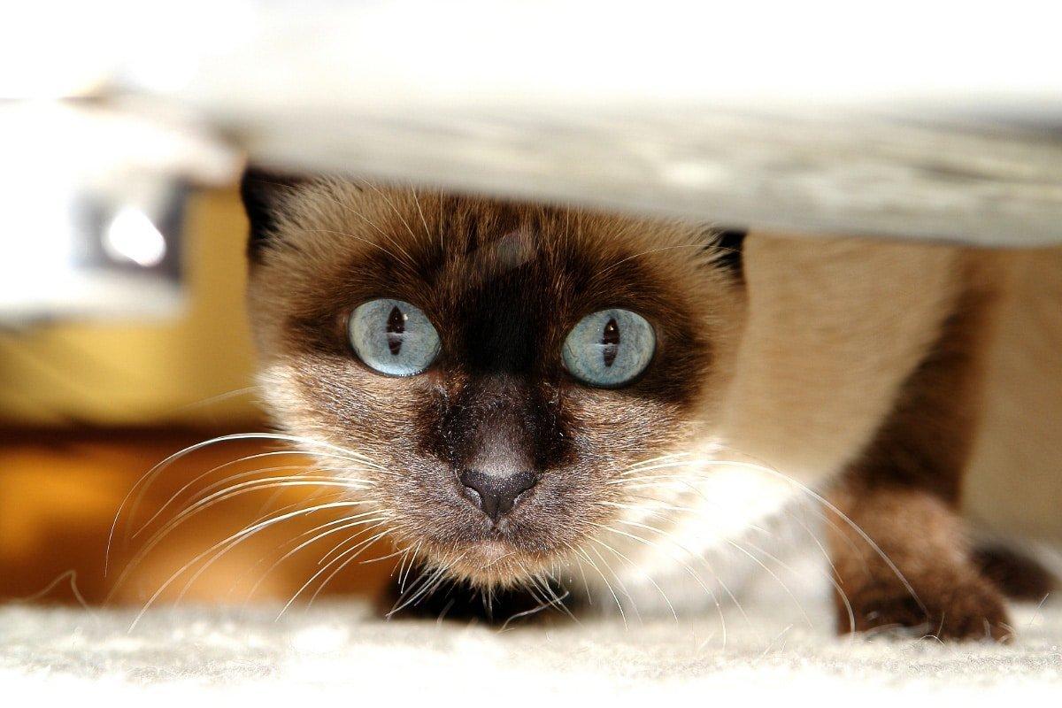 Friendliest Cat Breeds in the World