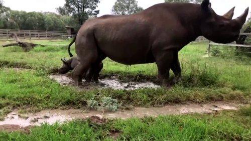 Critically endangered baby rhino enjoys first mud bath at Australian zoo