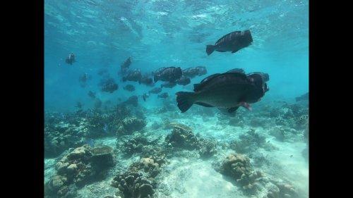 Bumphead parrotfish swim near coral reef