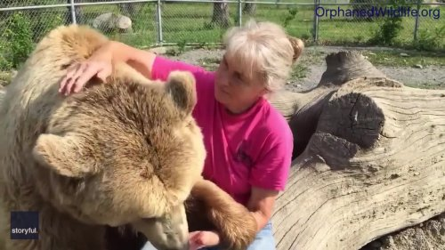 Syrian Brown Bear 'Purrs' at New York Rescue Center