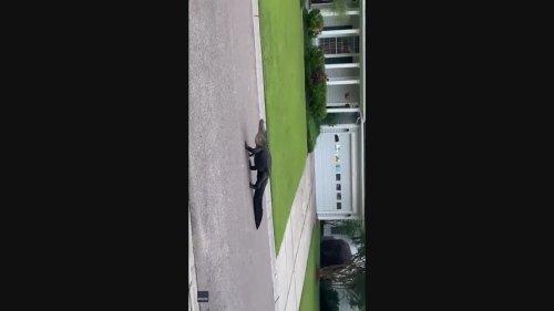 Alligator Takes a Stroll Around Charleston Neighborhood