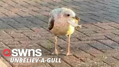 Seagull with barbed fish hook in its beak captured thanks to McDonald's hash brown