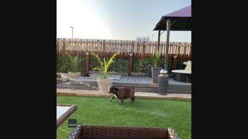 Glasgow Bulldog Beats the Heat in Cutest Way Possible
