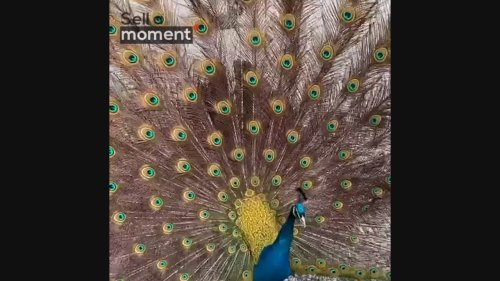 Beautiful peacock shows off feathers