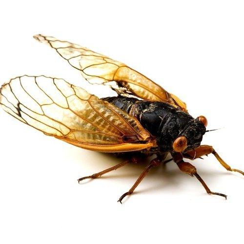 The Brood X Cicadas Have Arrived
