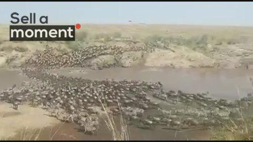 Wildebeest Herd Migrate through Masai Mara River