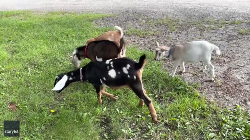 They've Got Hooves! Playful Goats 'Dance' on Their Hind Legs