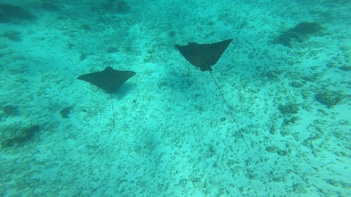 Divers Encounter Stingrays In Ocean