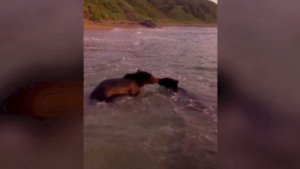 These Bear Cubs Play-Fighting in the Sea is the Cutest Thing You'll See All Day!
