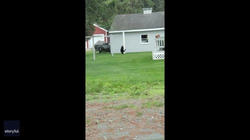 Black Bear Spotted Performing Pole Dance Routine in New Hampshire