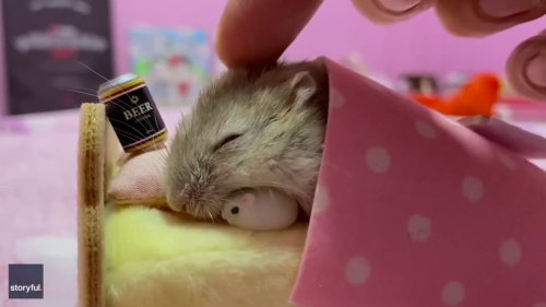 Heavy Night? Hamster Snoozes Beside Miniature Beer Can