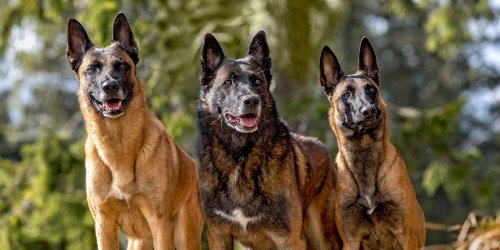Do You Know These 11 Shepherd Dogs?