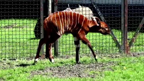 Baby antelope makes debut at Polish zoo