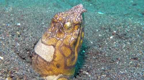 Rare Close-up Footage of Napoleon Snake Eel