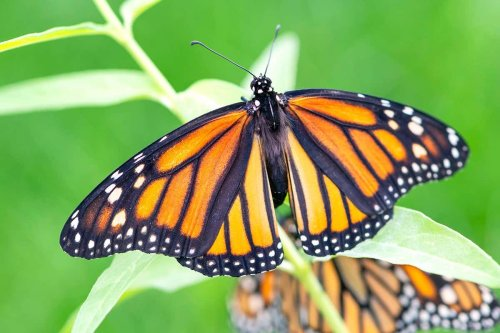 Climate change to blame for monarch butterfly's recent decline