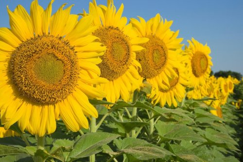 6 Best Places to See Sunflower Fields in the United States
