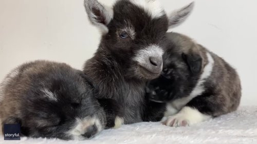 Baby Goat in Adorable Puppy Sandwich Will Help Beat Those Monday Blues