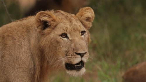 Close Up Footage of Young Male Lion