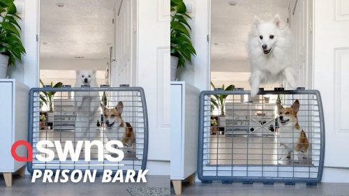 A tiny Corgi is left completely perplexed as his brother performs an epic 'prison break' jump