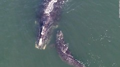 Discover right whale