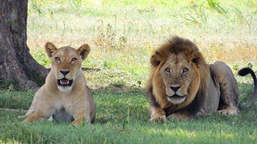 The Secret Sex Life of Lions