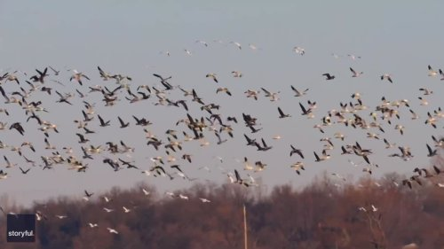 Enormous Gaggle of Geese Flocks to Western Minnesota Field