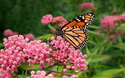 Monarch Butterflies and Milkweed
