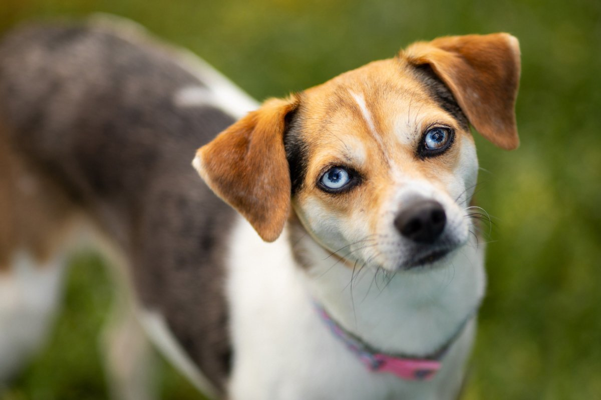 29 Blue Eyed Dog Breeds You'll Love