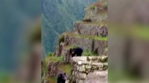 Rare Andean bears spotted at Machu Picchu