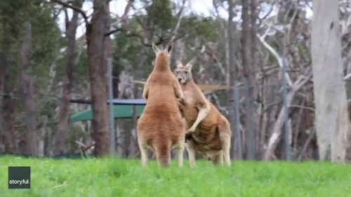 That's the Spot: Kangaroos Take a Break From Fighting to Scratch an Itch