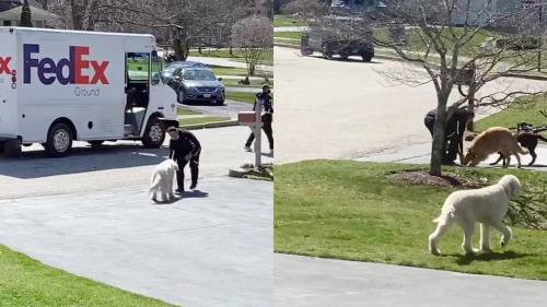 'Golden Doodle's Adorable Interaction with FedEx Driver'