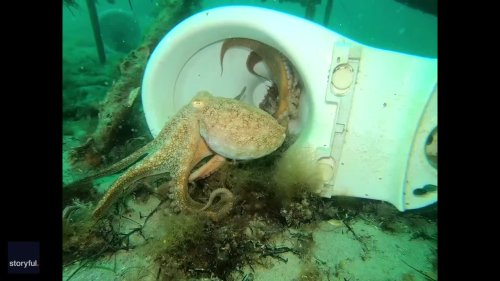Octopus Charges at Divers in Port Phillip Bay