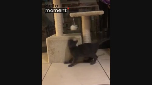 Frisky Kitten Plays With New Toy