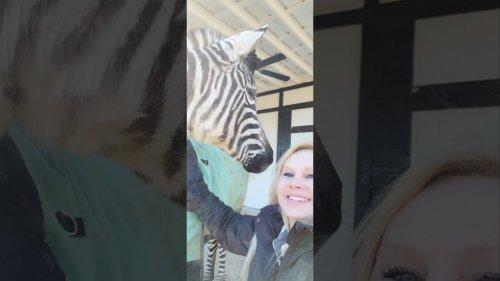 Cute Zebra Begs Human Mom for Cuddles