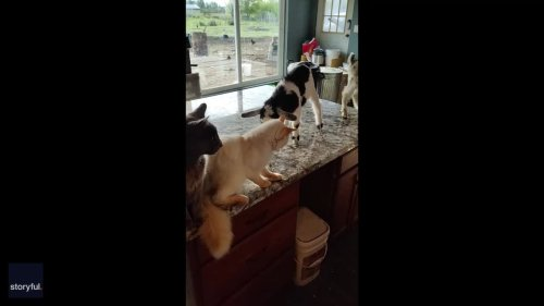 So Baaad! Baby Goat Headbutts Cats Off Kitchen Counter